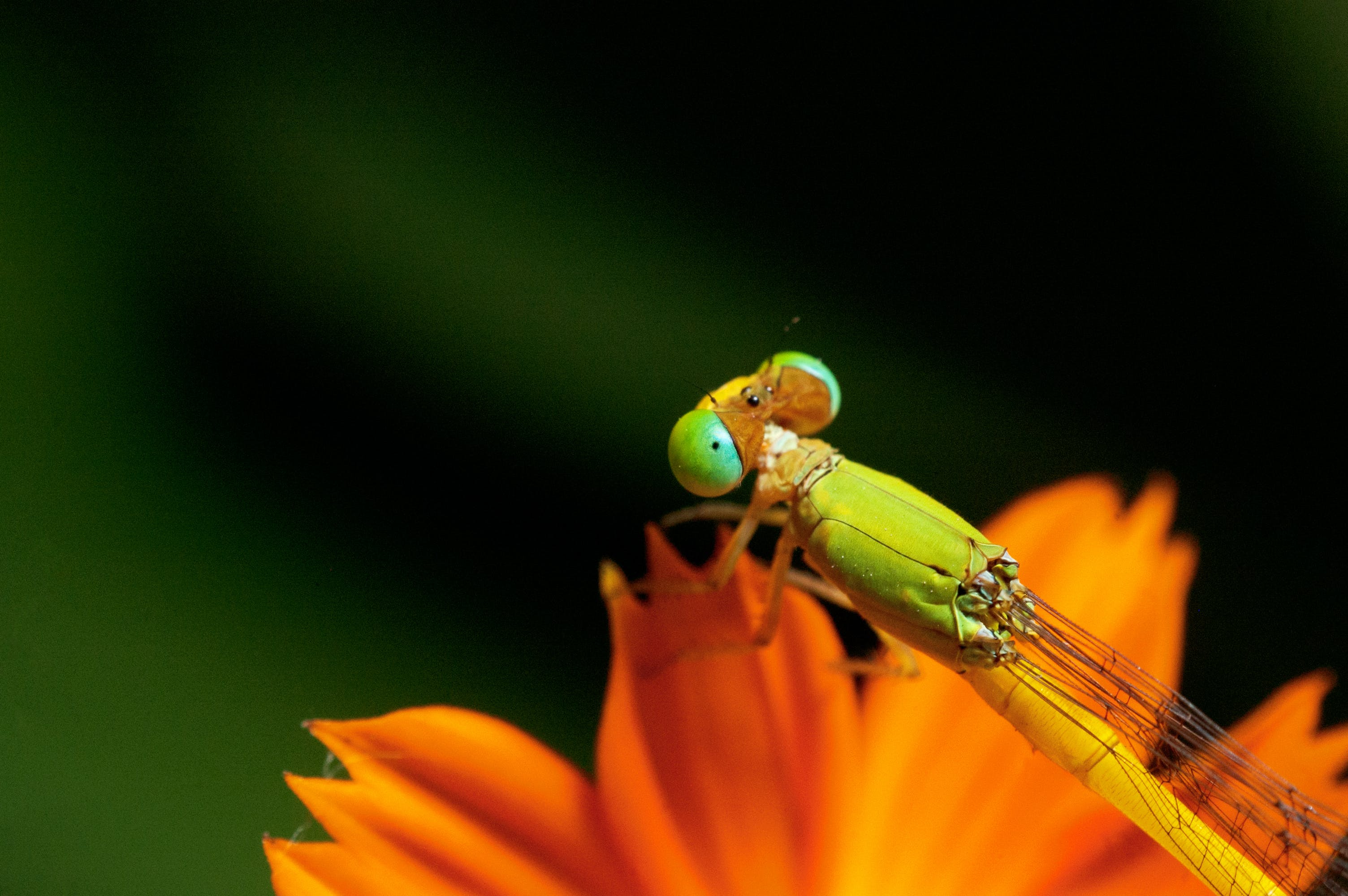 Free stock photo of compound eyes, cosmos flower, damselfly, green