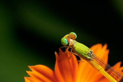 Ingyenes stockfotó Egyenlő szárnyú szitakötő, kozmosz virág, összetett szem, rovar témában