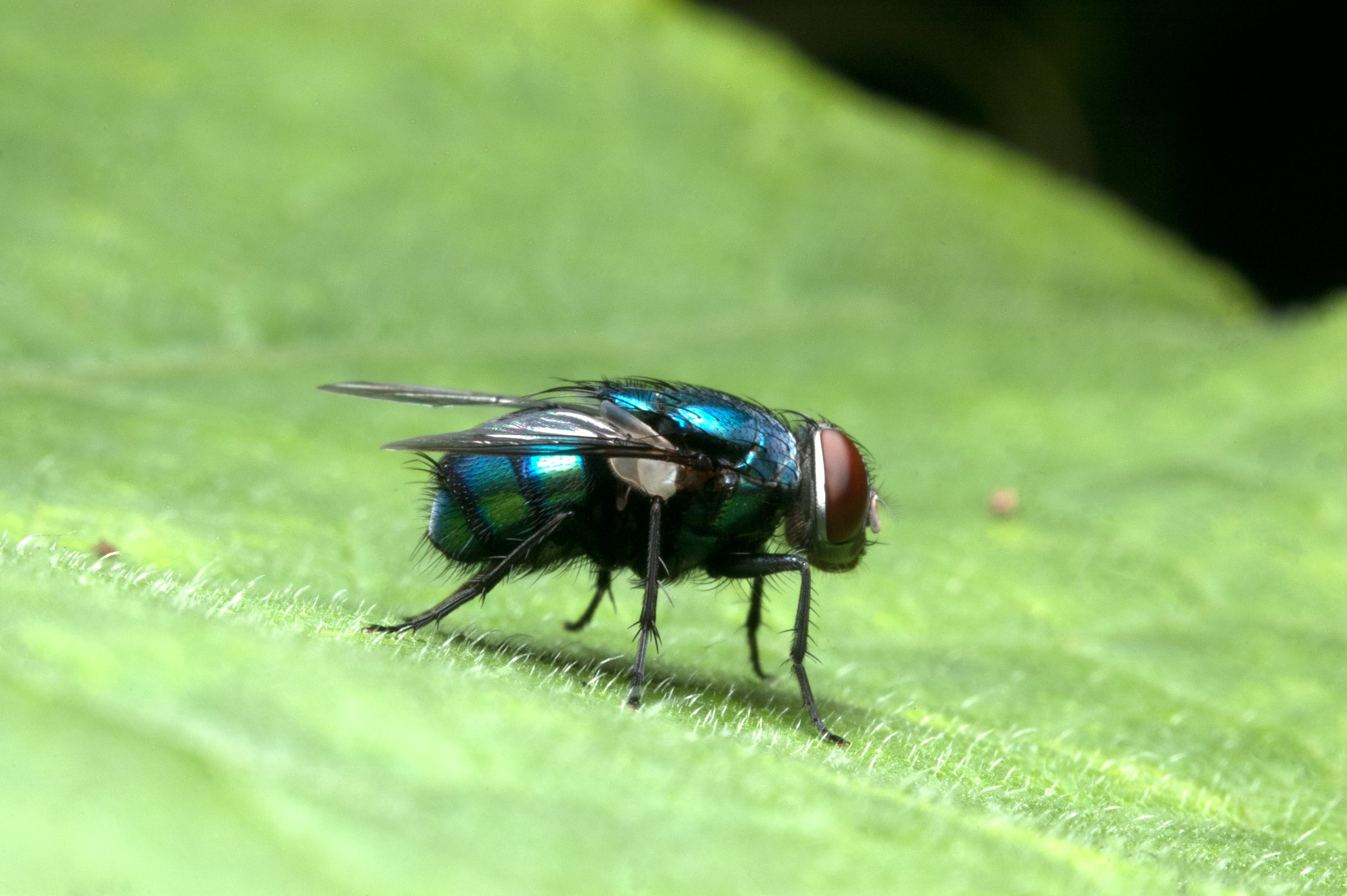 Free stock photo of blue, compound eyes, housefly, insect