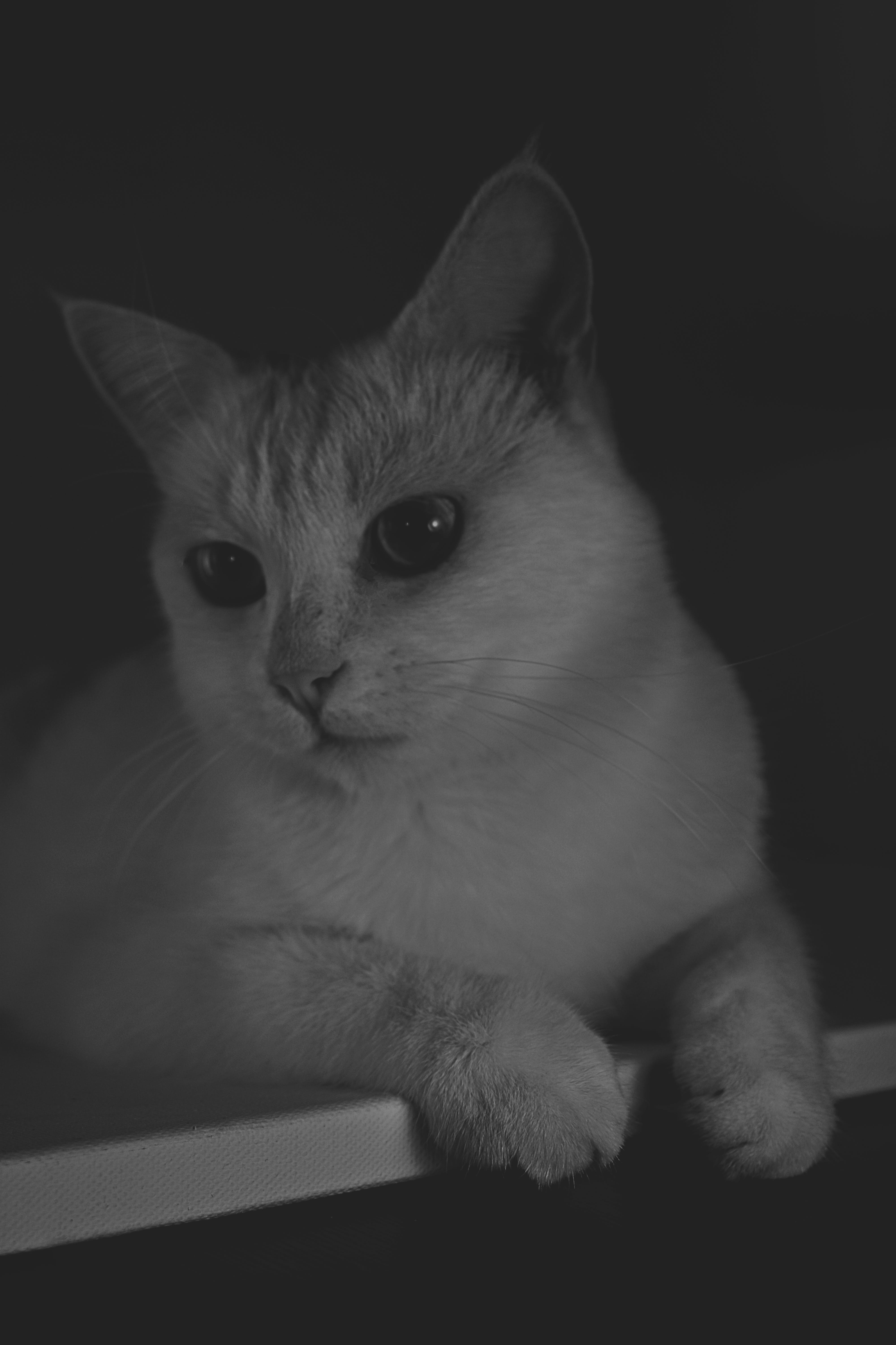 Grayscale Photography Of Short-fur Cat