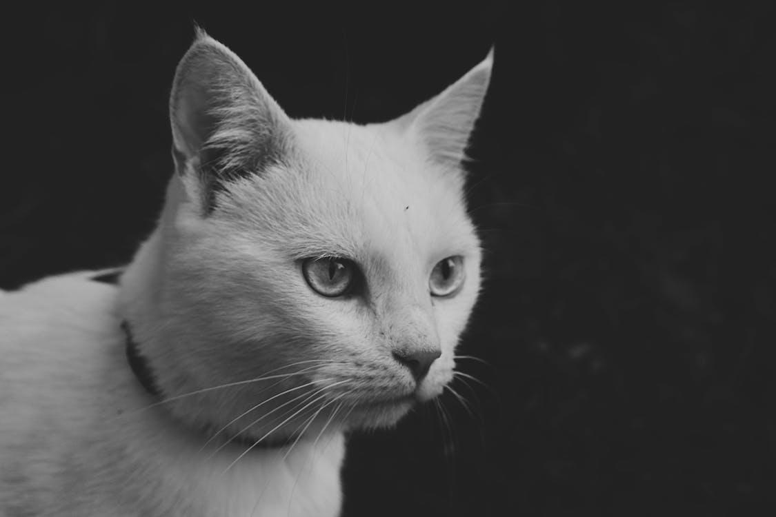 Monochrome Photo of Cat