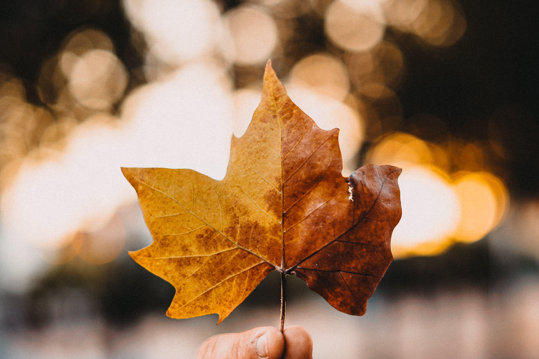 คลังภาพถ่ายฟรี ของ ต้นเมเปิล, ทอง, พร่ามัว, ฤดูกาล