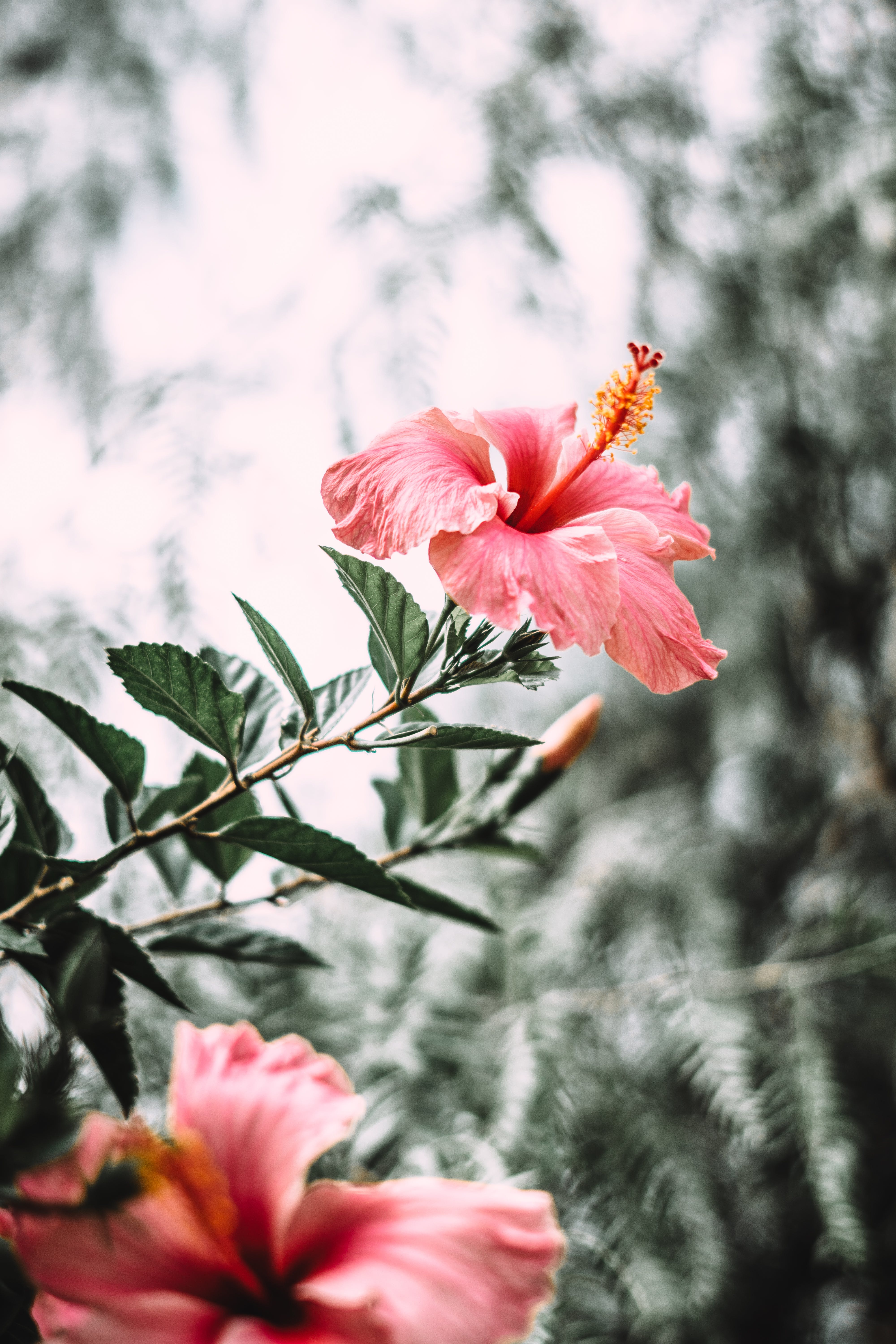 Selective Focus Photography of Pink Hibiscus Flower in Bloom