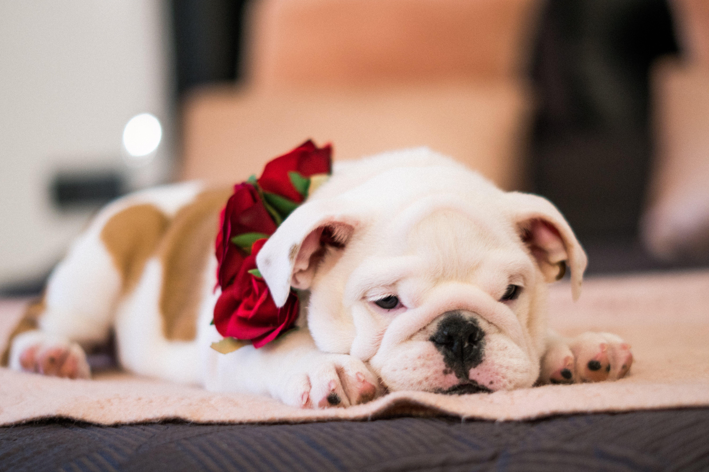 Close-Up Photo of Bulldog