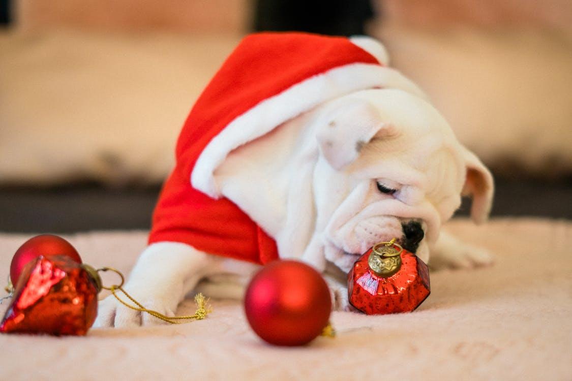 Close-Up Photo of Bull Dog Near Ornaments
