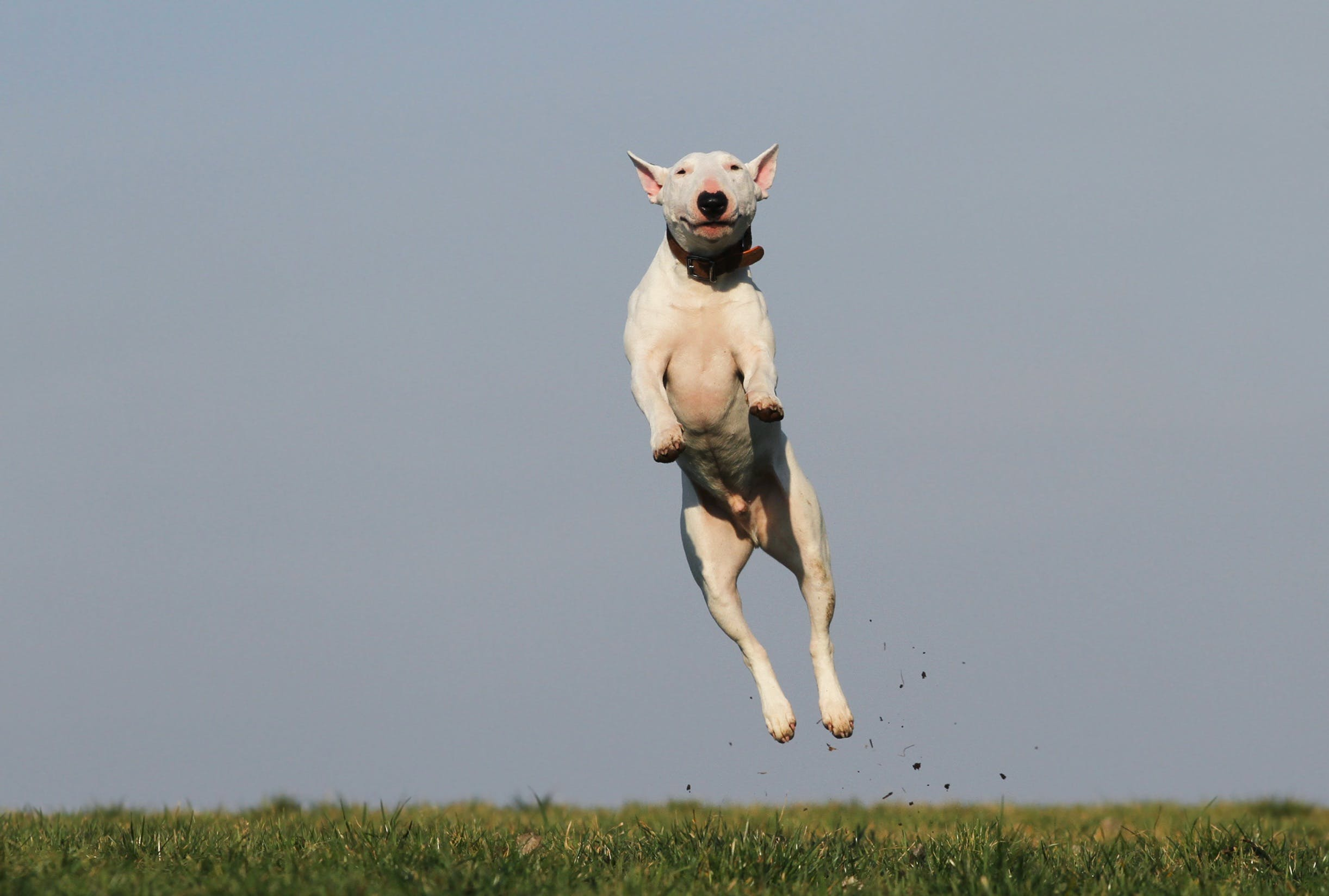 White Dog Terrier Jumping Near Grass Field during Daytime