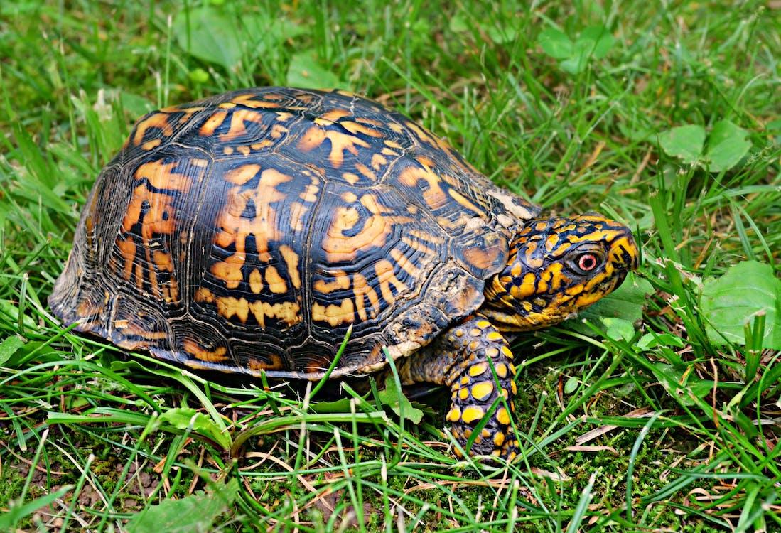 Brown Yellow Tortoise