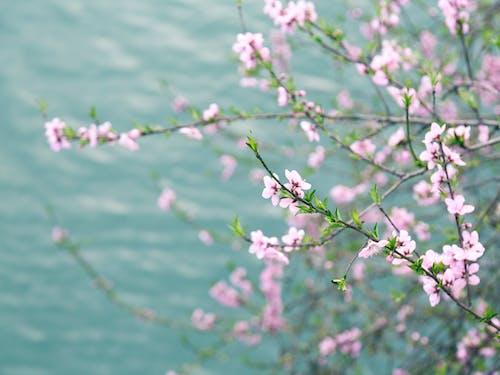 Free stock photo of 中国风, 桃花, 溪水
