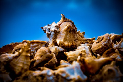 Close-up Photo of Brown Conches
