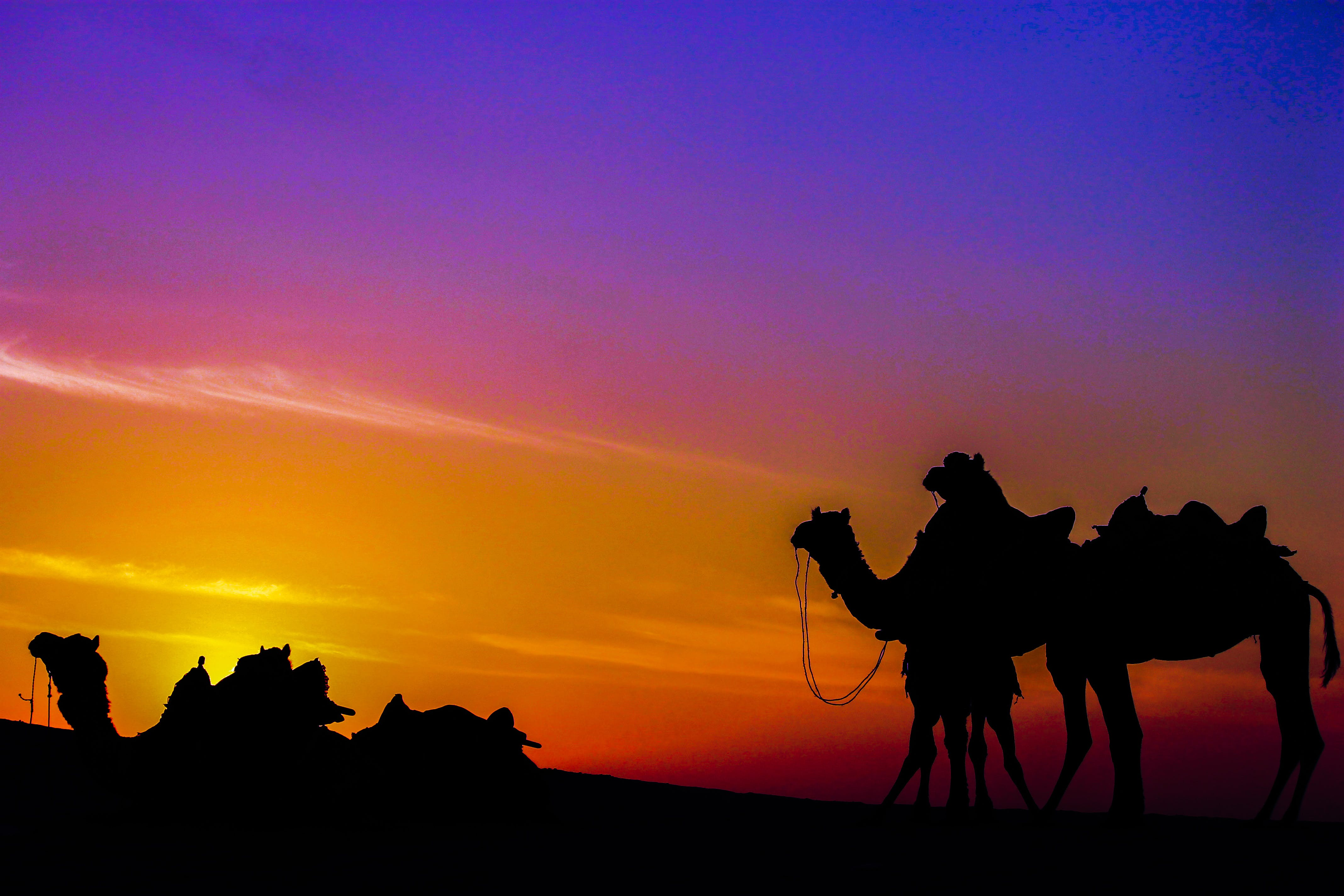 Free stock photo of camels, colours, desert, india