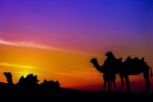 Бесплатное стоковое фото с верблюды, закат, индия, мир