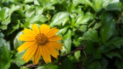 Δωρεάν στοκ φωτογραφιών με κίτρινο άνθος, λουλούδια
