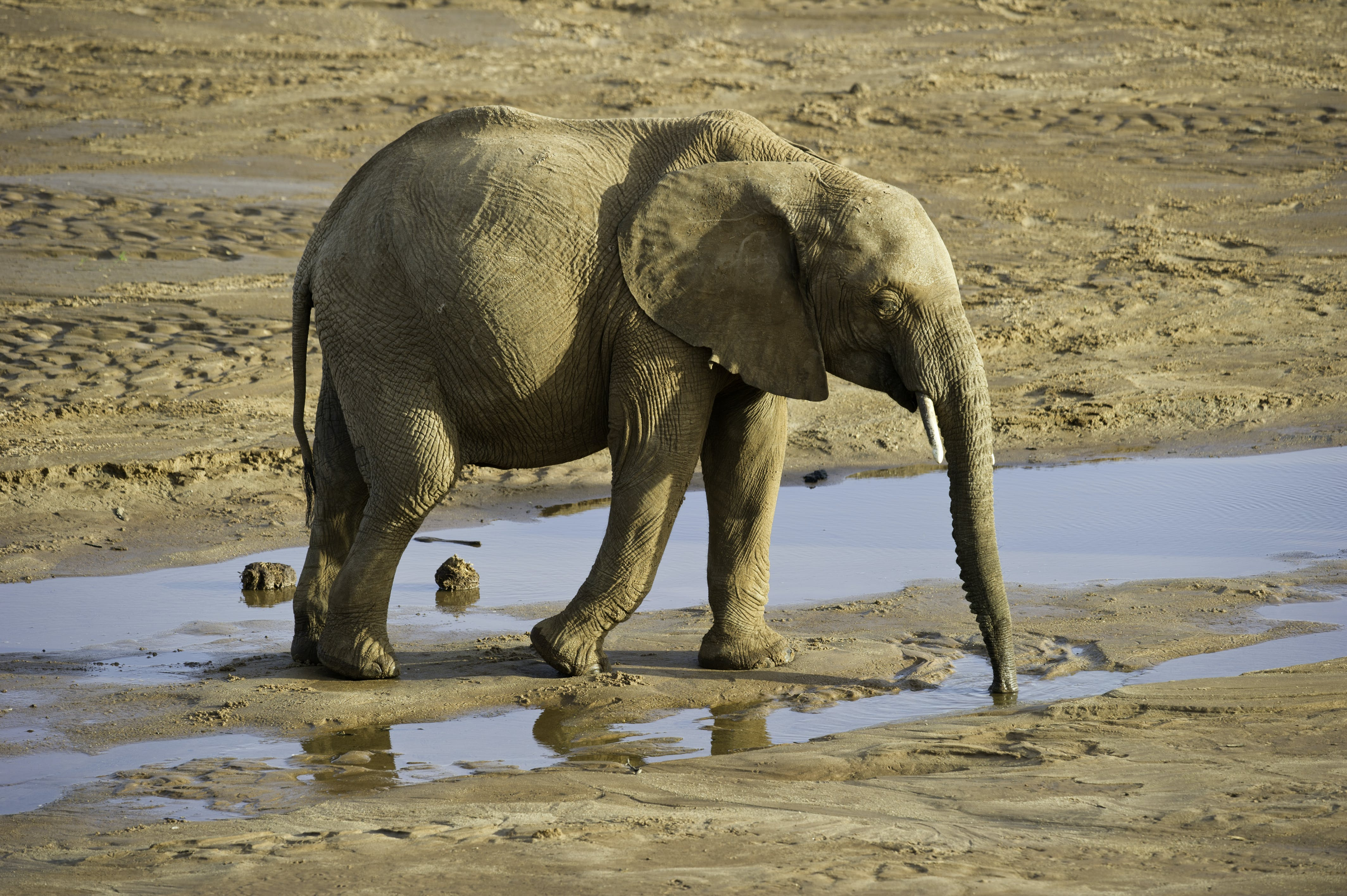 Elephant Drinking Water