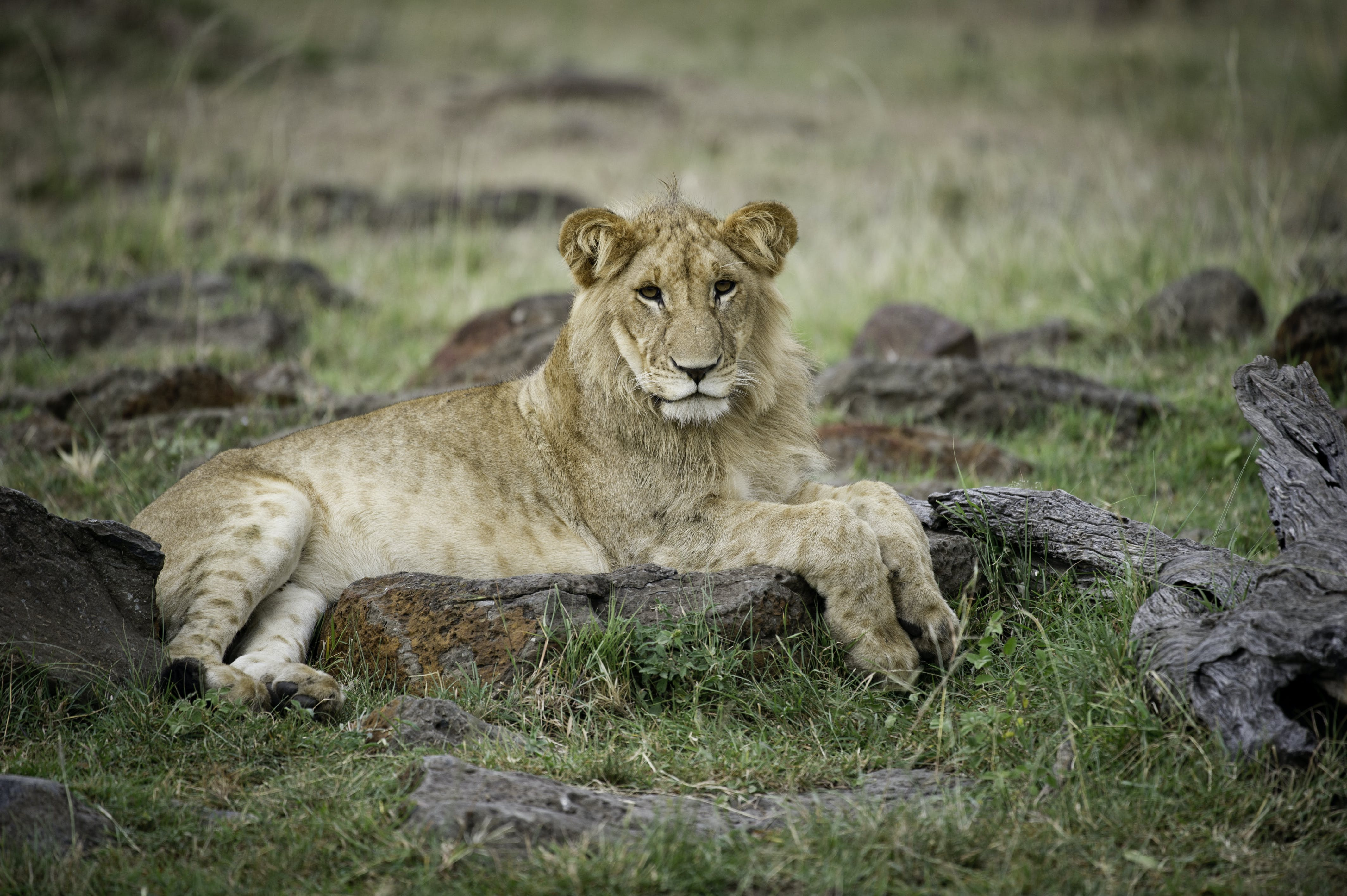 Photo of a Lioness Lying on Ground