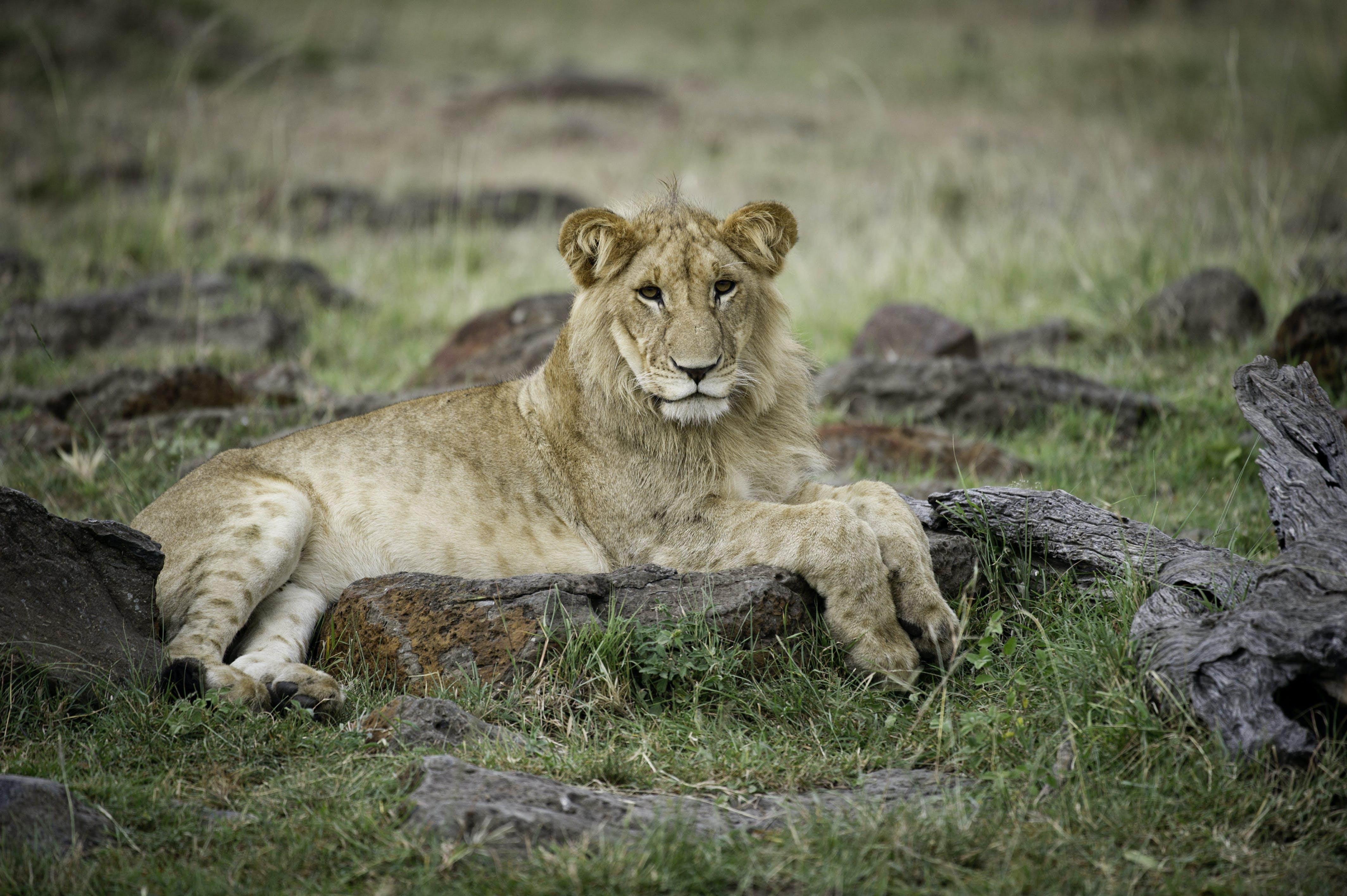Foto d'estoc gratuïta de animal, carnívor, concentrar-se, depredador
