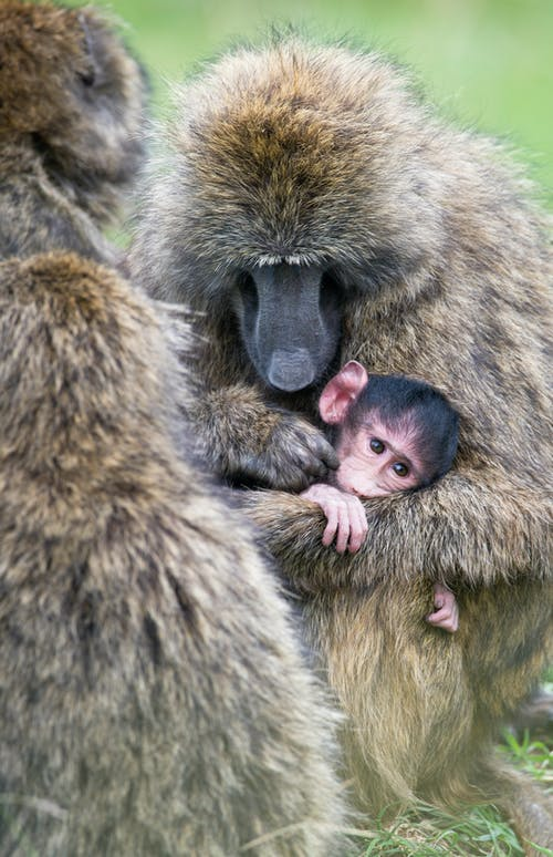 Gratis lagerfoto af abe, baby, dyr, dyreliv