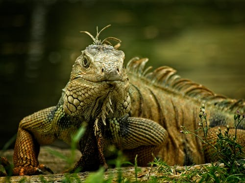 Brown and Green Iguana on Grass Field