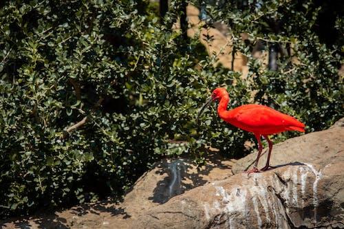 Scarlet Ibis Perching on Rock