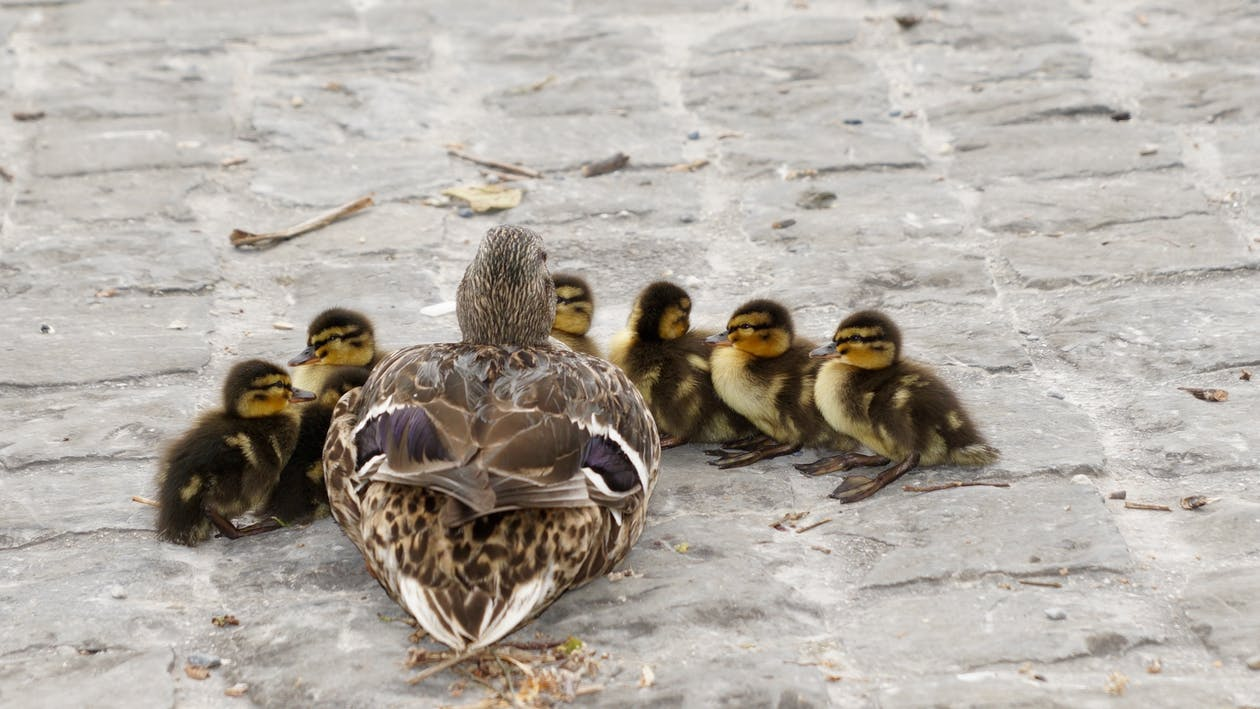 Duck and 6 Ducklings on Concrete Road during Daytime