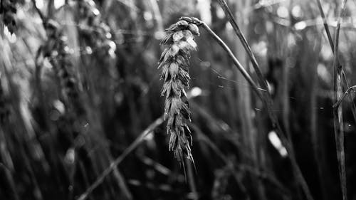Free stock photo of black and white, wheat