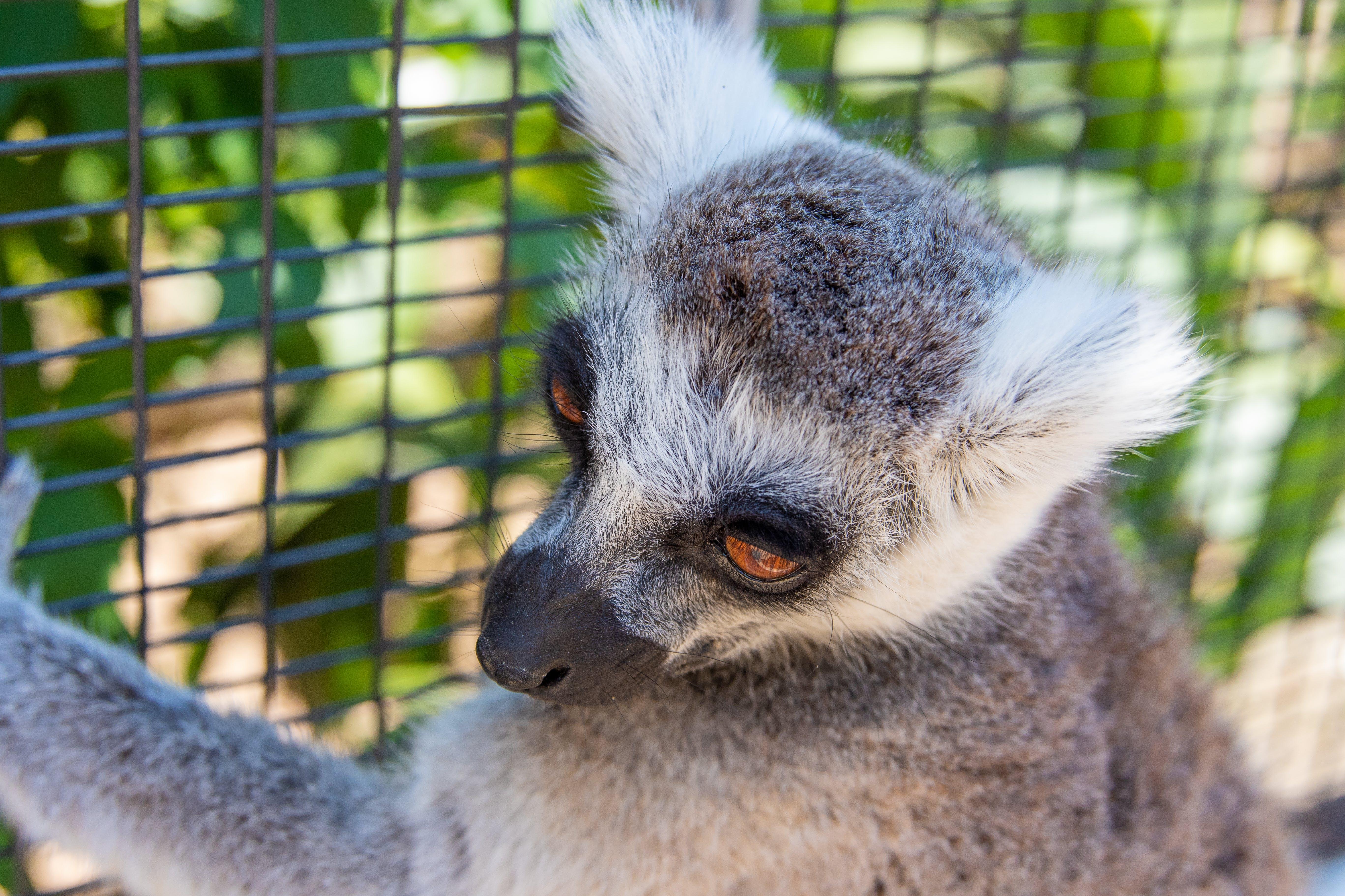 Photo of Lemur On Fence