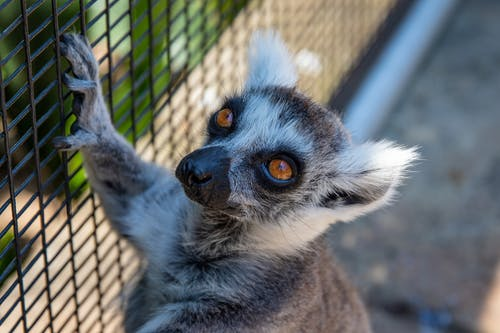 Selective Focus Photography of Black and Brown Lemur