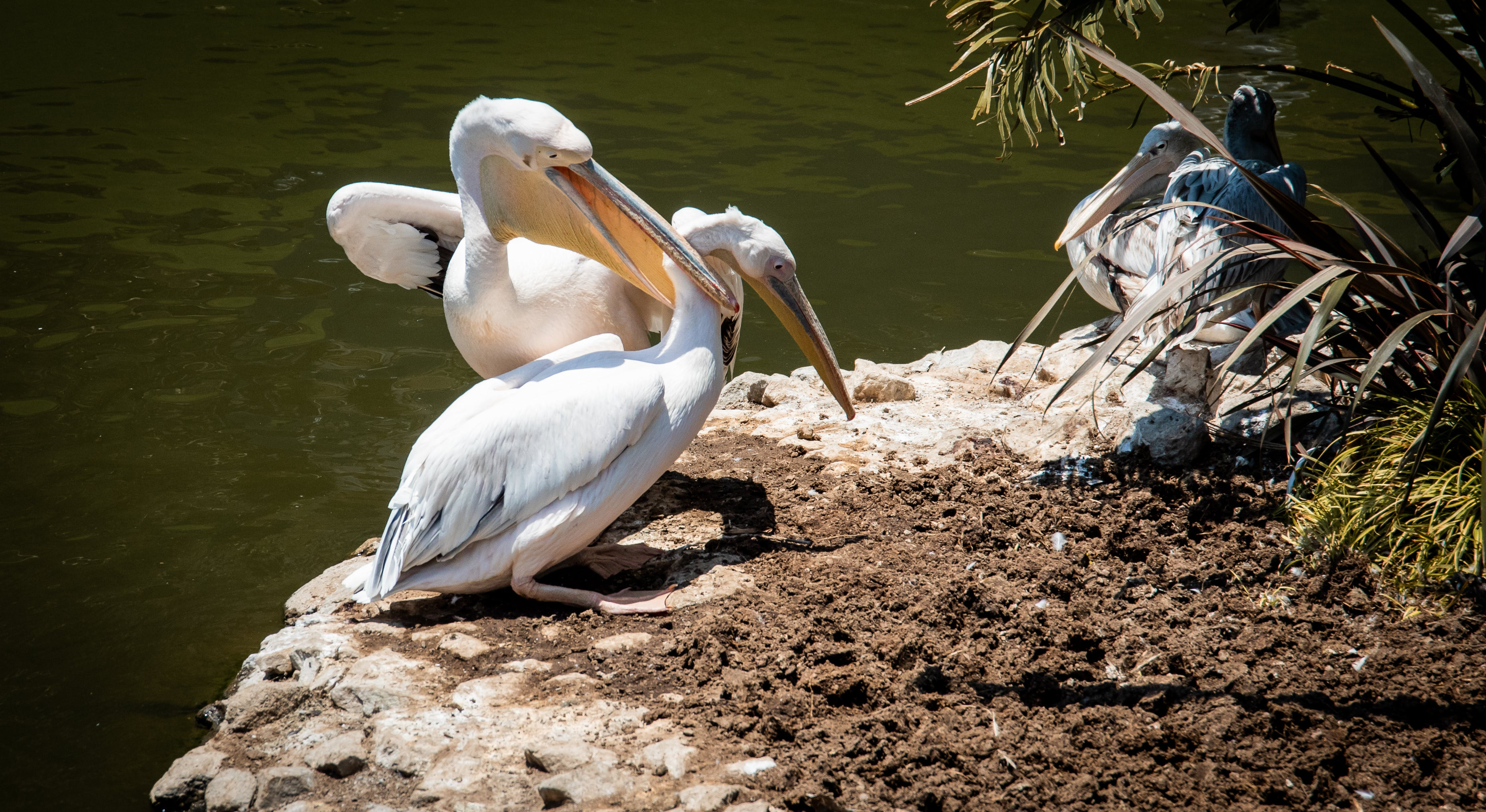 Two Pelican Perched on Soil