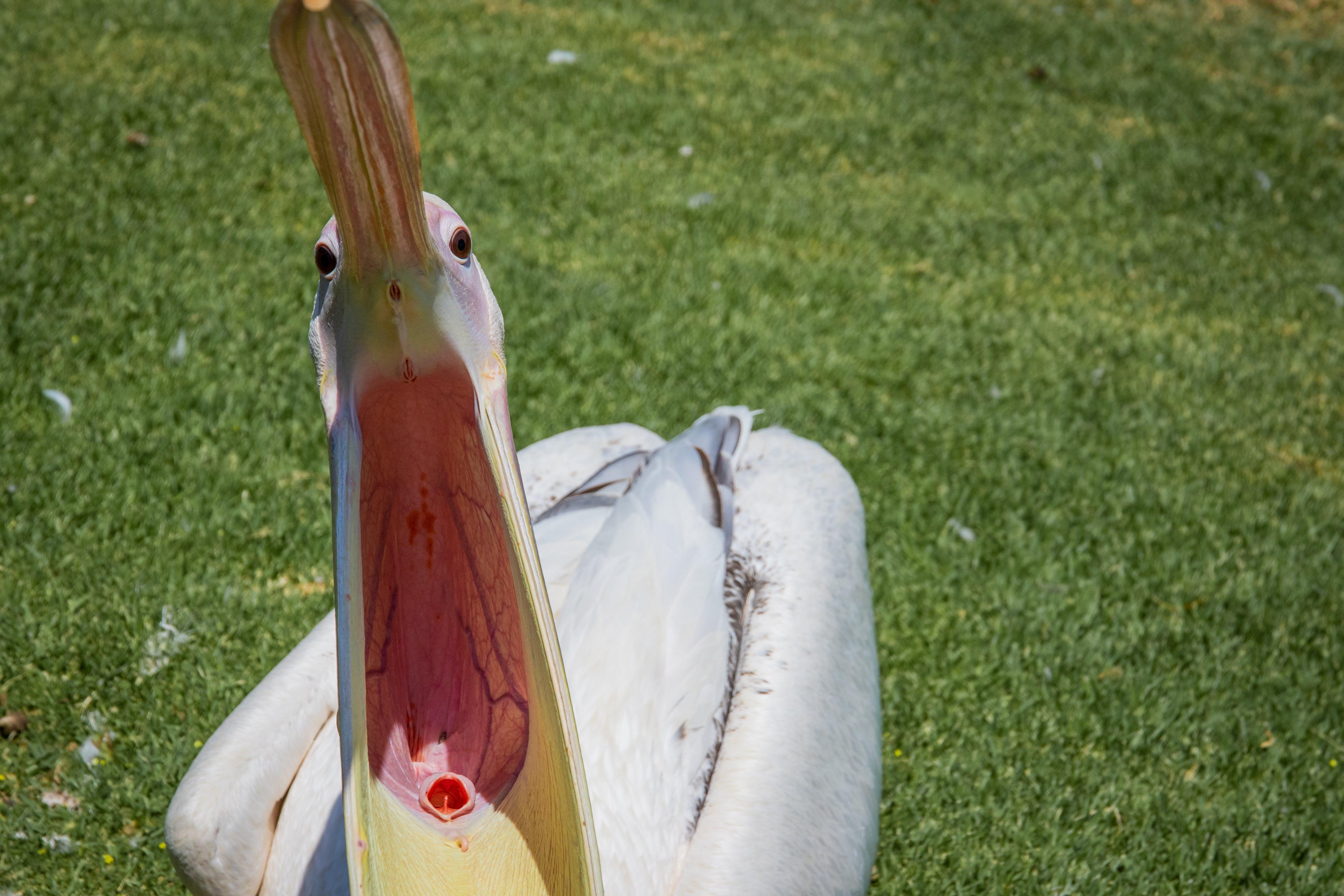 Free stock photo of nature, bird, pelican, animal