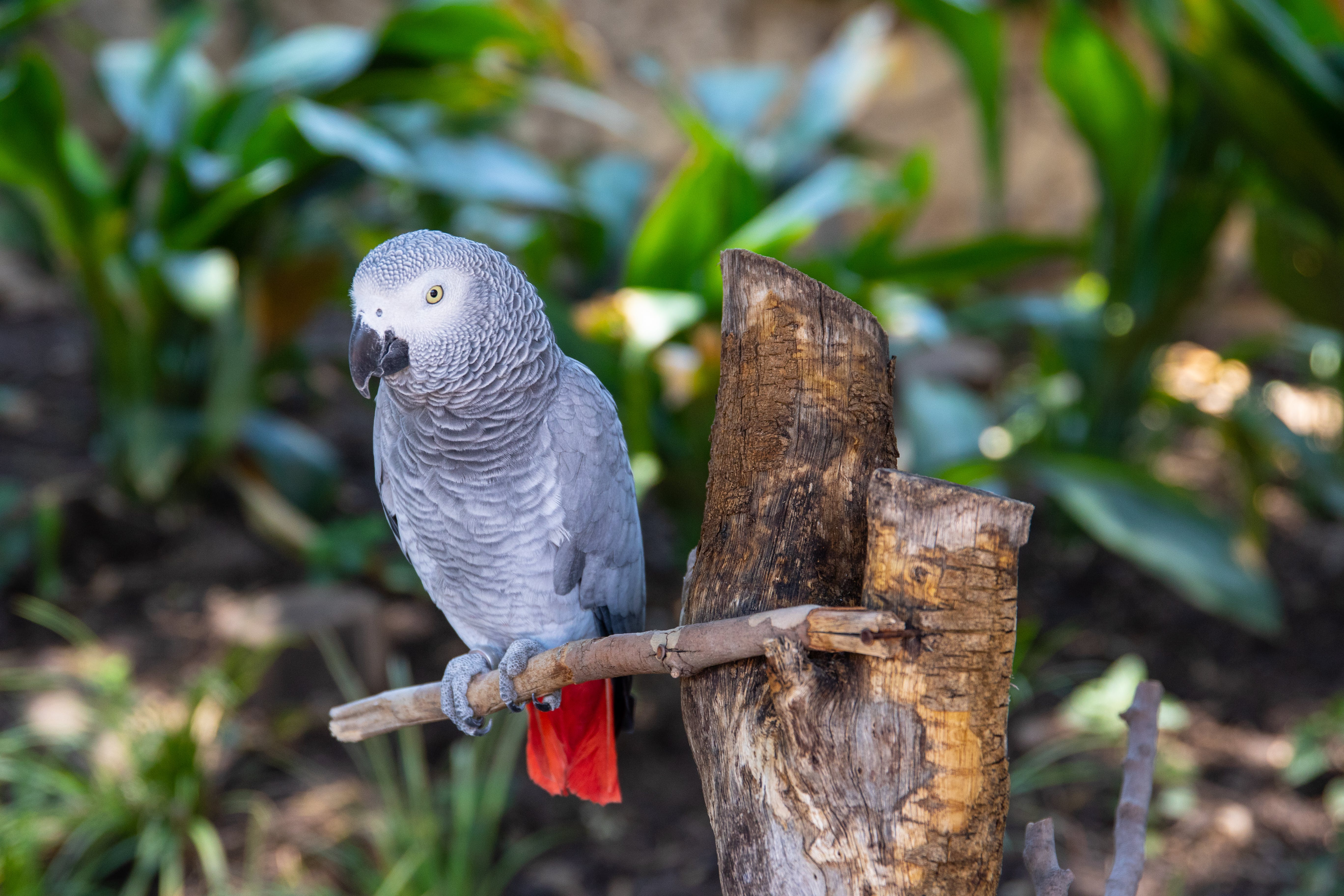 Selective Focus Photography Of African Grey Parrot Perched On Branch