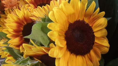Free stock photo of flowers, sunflowers, yellow