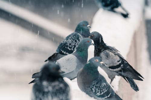 Selective Focus Photography of Flock of Gray Pigeons Perched on Wall Covered With Snow