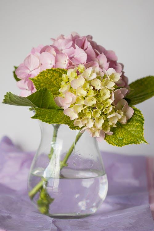 あじさい, ピンクの花, フラワーズ, フローラの無料の写真素材