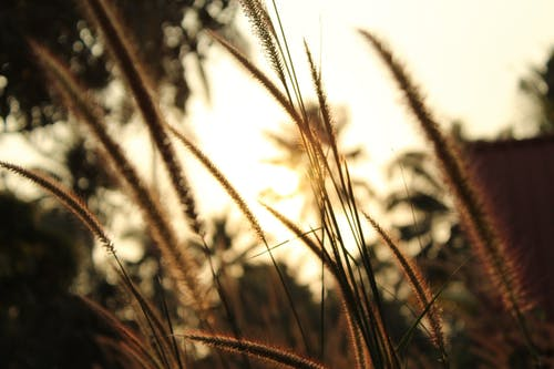 Free stock photo of back ground, golden grass, golden sun, grass