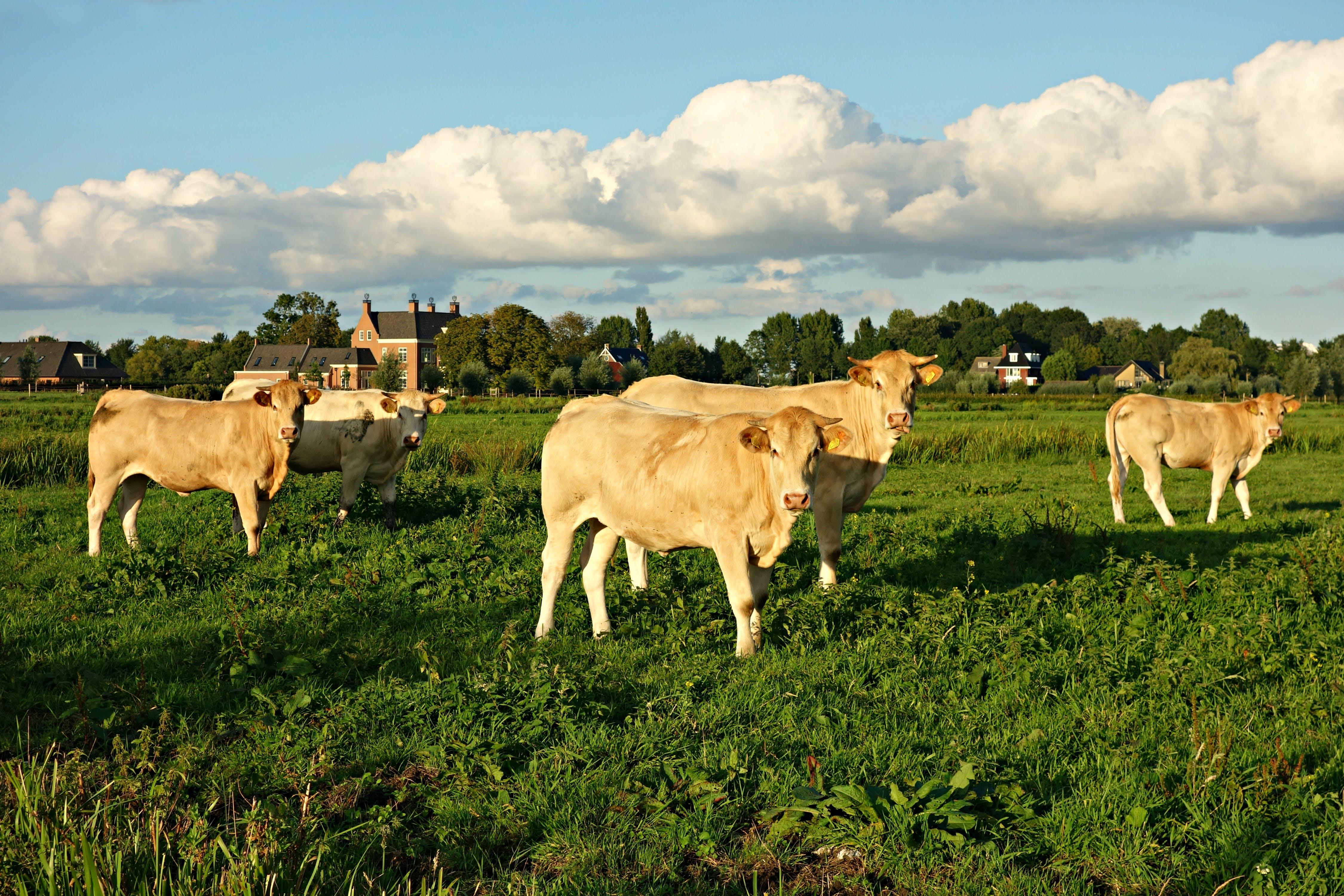 Free stock photo of animal, bovine, cattle, countryside