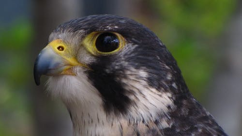 Free stock photo of bird of prey, falcon, hawk, raptor