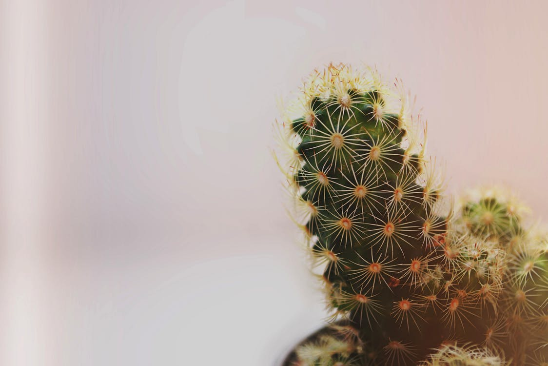 afilado, cactus, columnas vertebrales