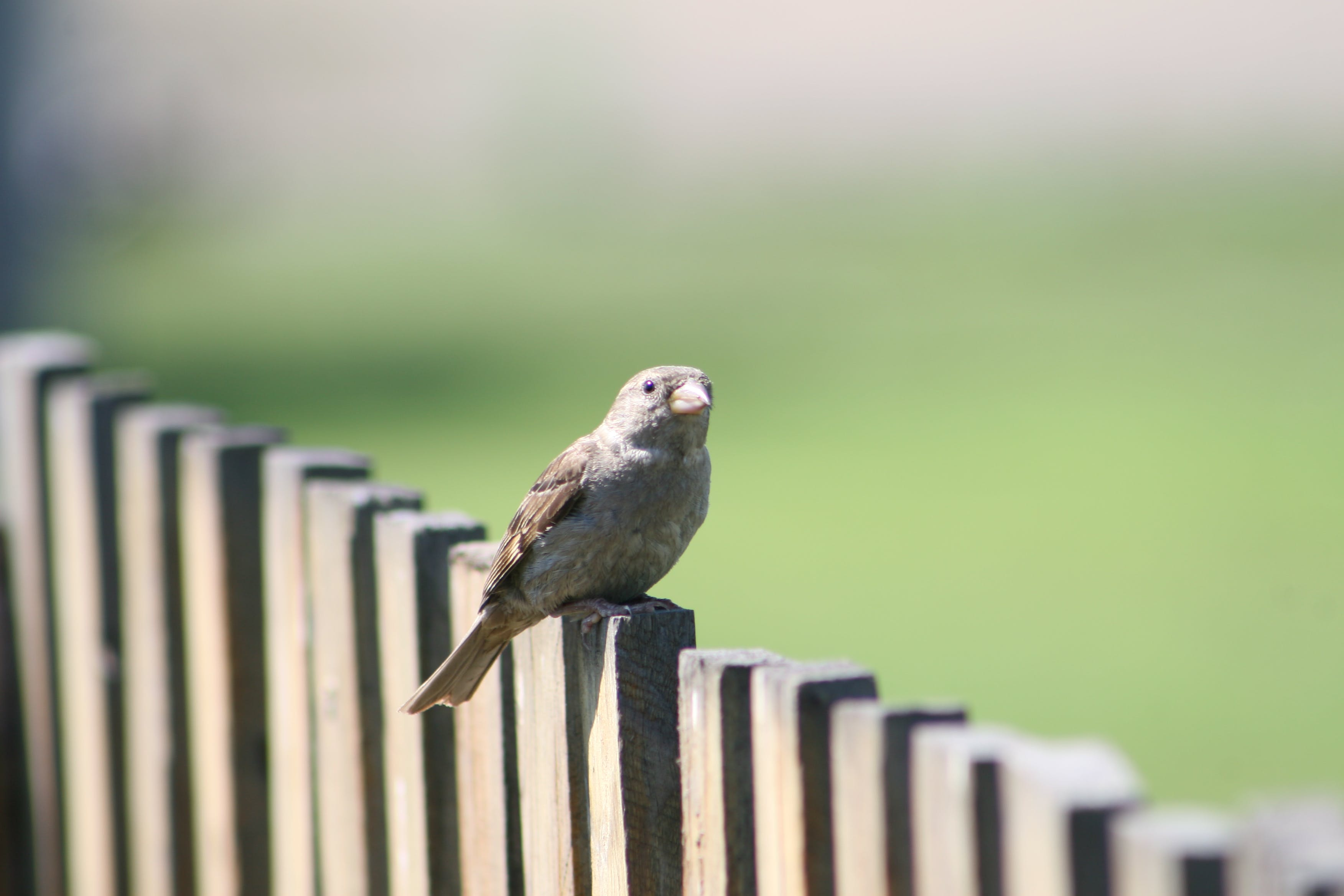 Free stock photo of nature, sparrow