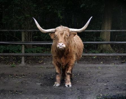 Free stock photo of animal, zoo, bull, bison