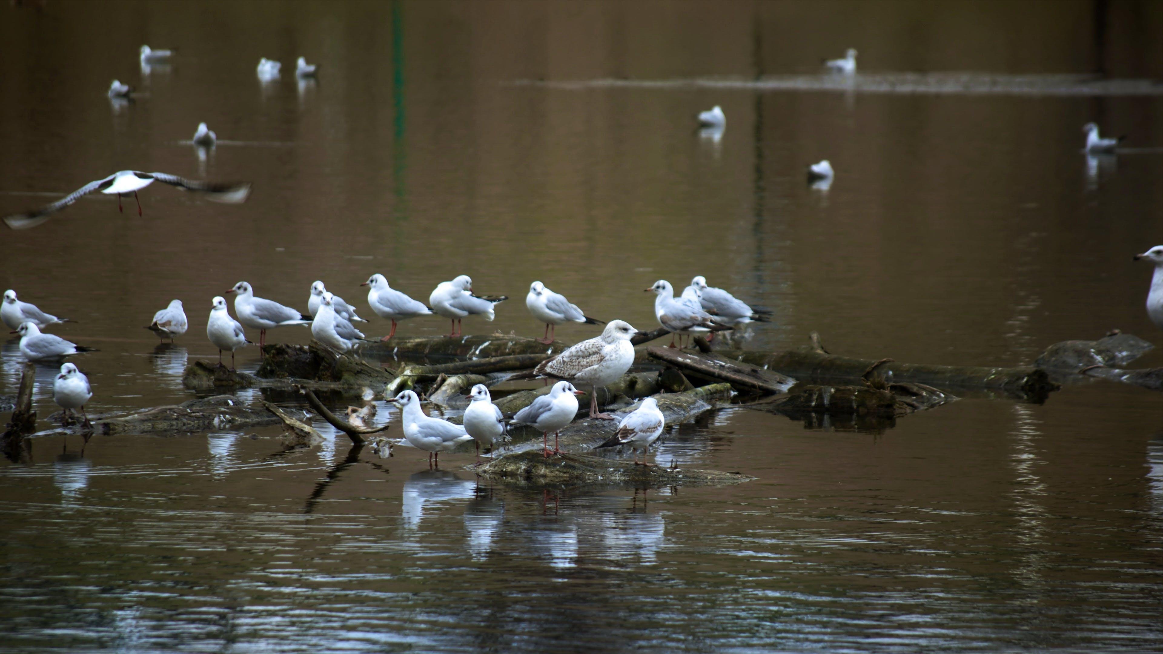 Free stock photo of flying, seagulls, sitting, swimming
