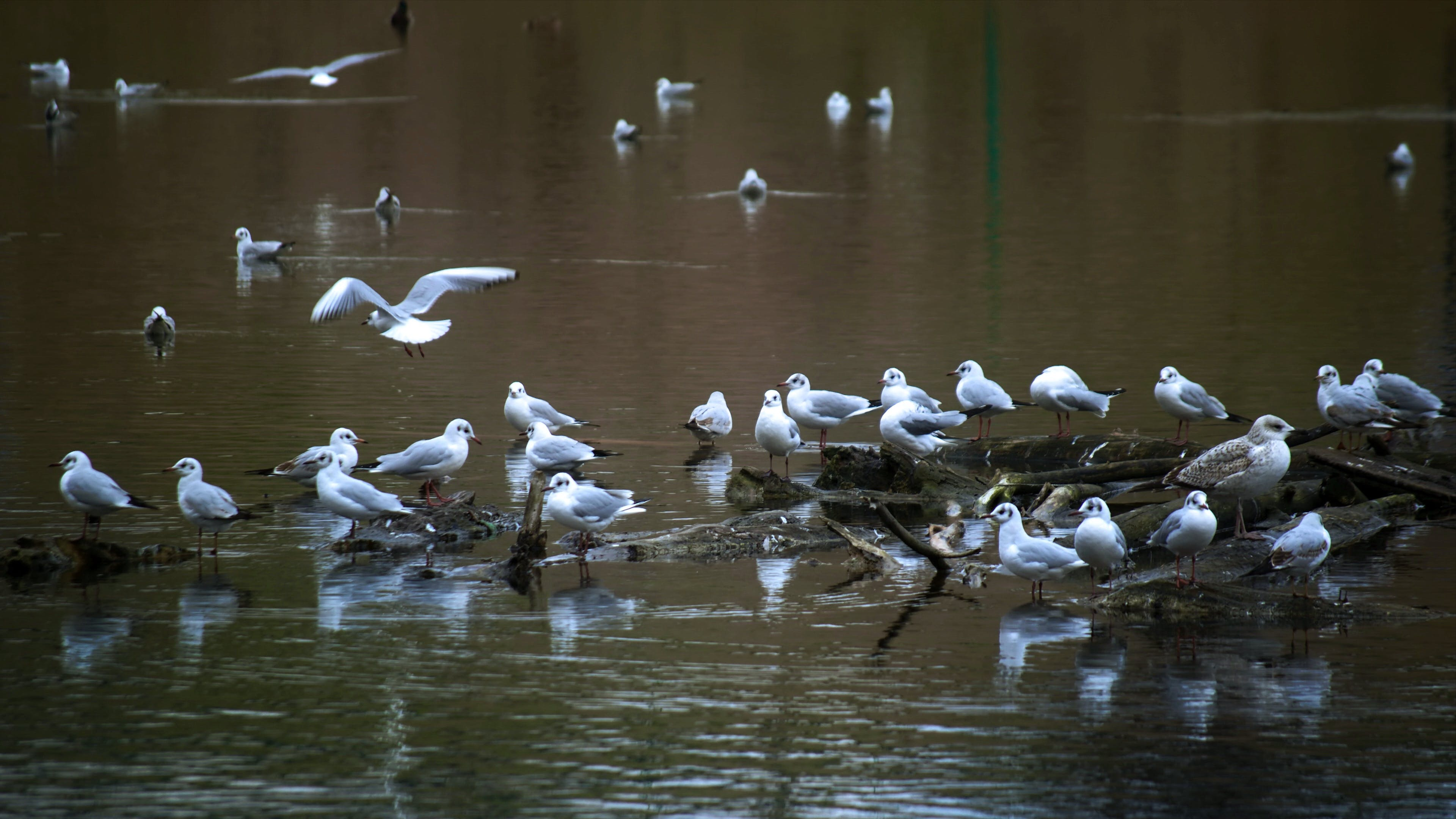 Free stock photo of flying, gulls, relaxing, wood logs