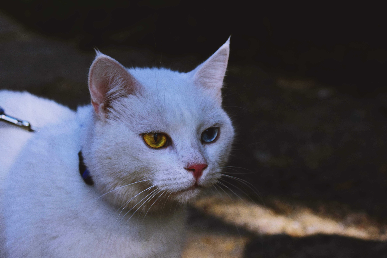 Gratis stockfoto met aanbiddelijk, beest, huisdier, huiskat