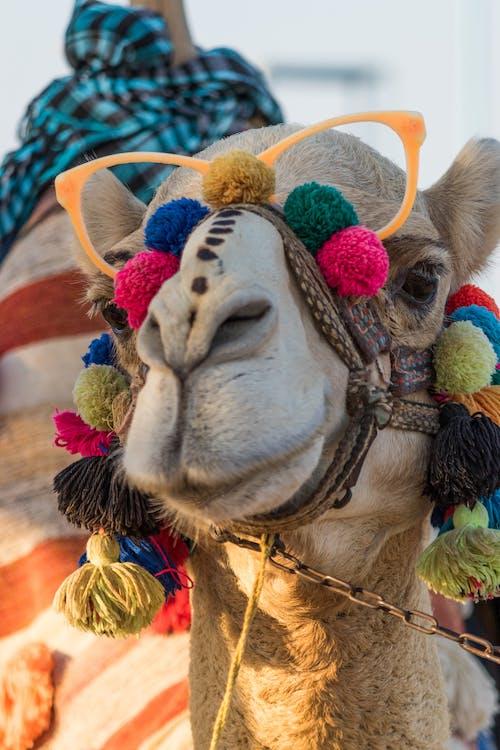 낙타, 디 왈리, 이집트의 무료 스톡 사진