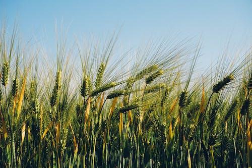 Gratis arkivbilde med åker, hvete
