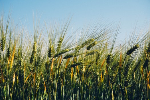 Free stock photo of field, agriculture, wheat, barley