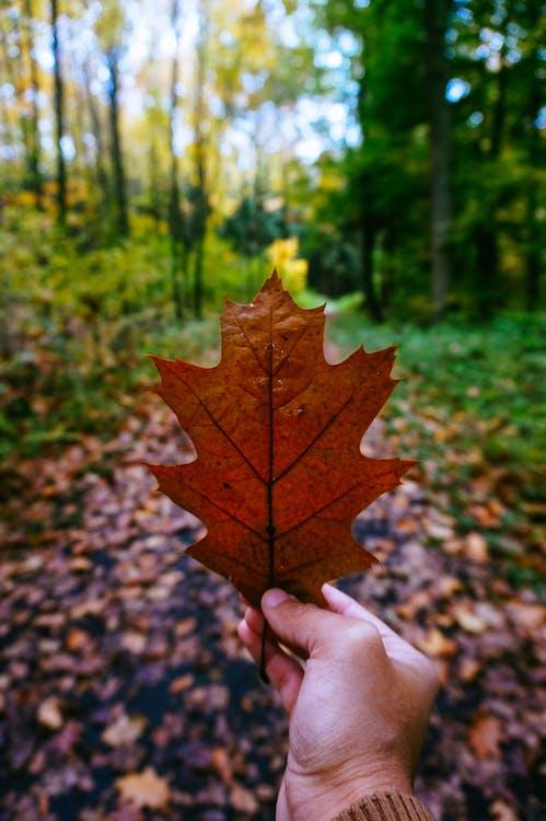 juharfa, levél, ősz