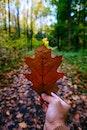 leaf, autumn, maple
