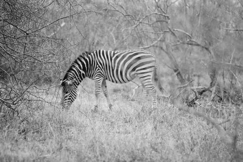 Free stock photo of africa, black and white, south africa, wildlife