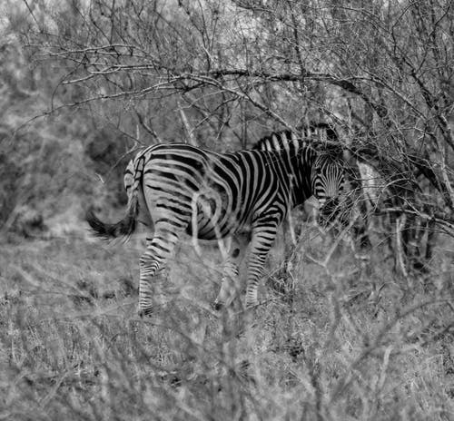 Free stock photo of africa, black and white, safari, south africa