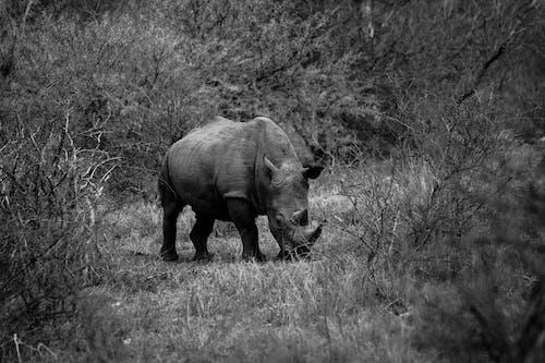南非, 喇叭, 犀牛, 野生動物 的 免費圖庫相片