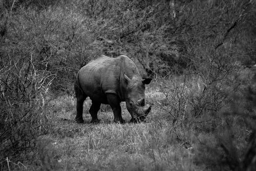 Foto stok gratis Afrika, afrika selatan, badak, fotografi binatang liar